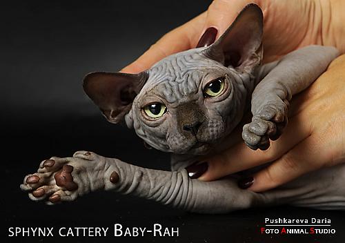 Кошки питомника кошек породы Канадский сфинкс Baby-Rah.